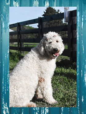 White Goldendoodle puppy