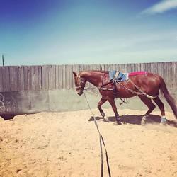 Sebby boy working in his kinesiology taping! #patenciaperformancehorses #patenciatooramroad #kinesio