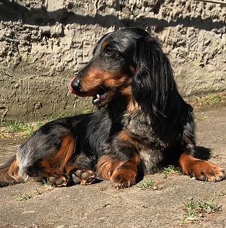 Dackel Jesper, einer unserer Hunde.