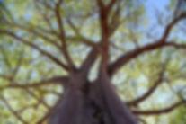 Bumbleroot tree.JPG
