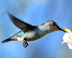 210Bee_Hummingbird_female