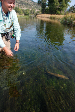 Brown Trout release on Depuys Spring Creek