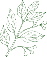 Camphor Plant.png