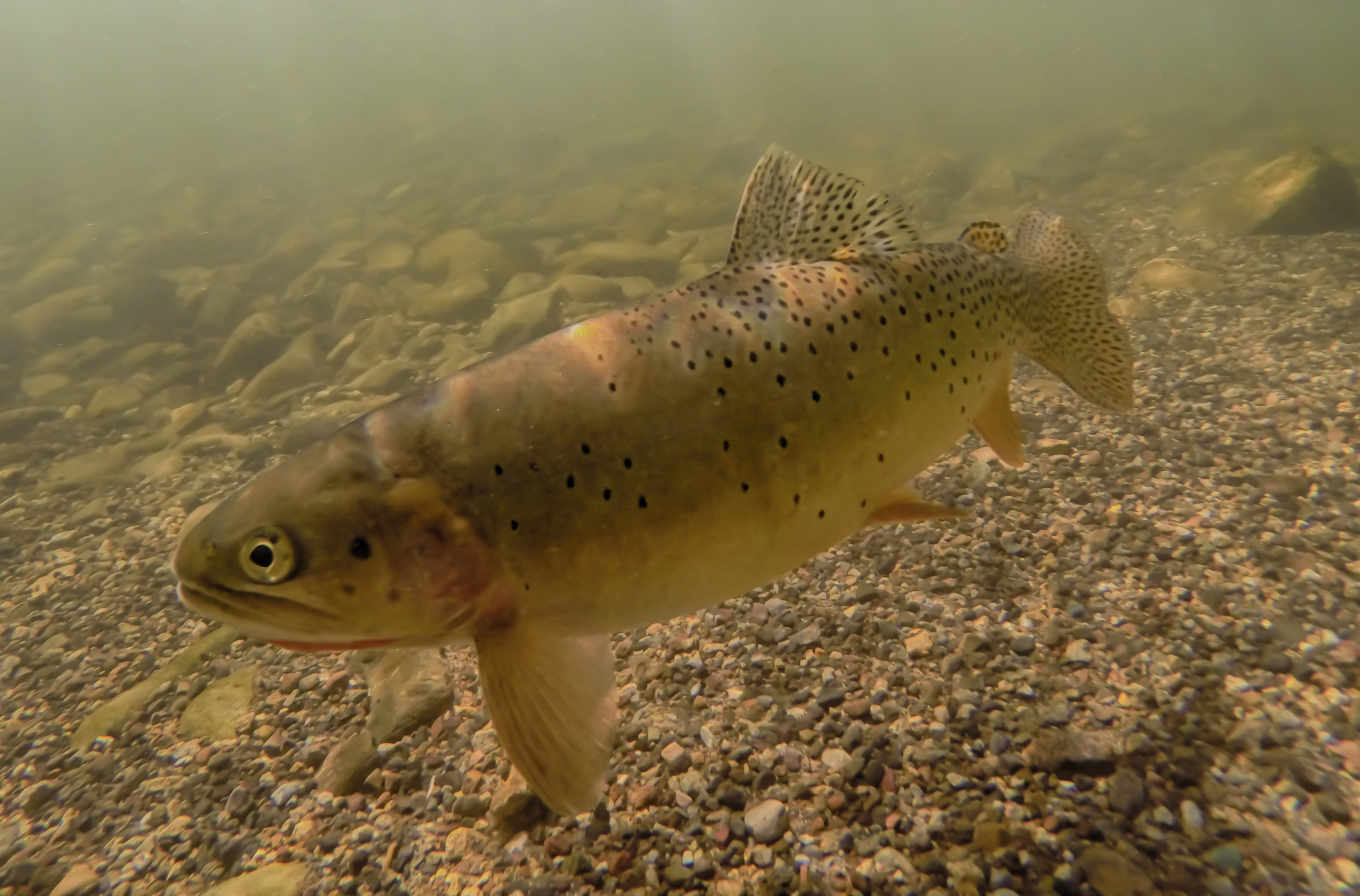 Underwater Cutthroat Trout (1)