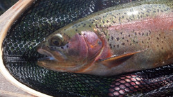 Armstrongs Spring Creek Cutbow