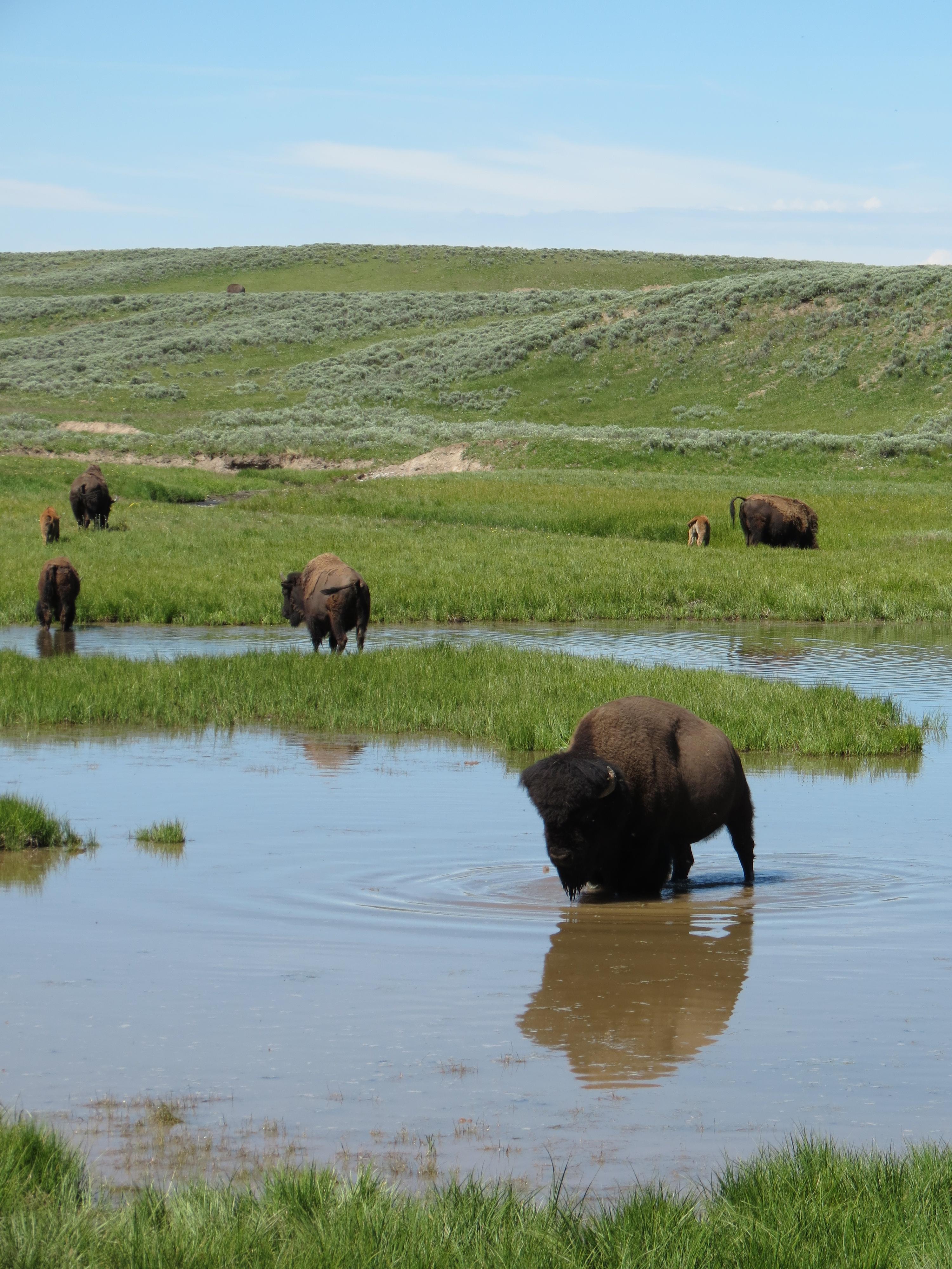 Bison in Hayden Valley; YNP