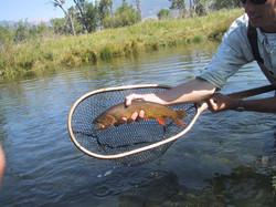 Depuys Spring Creek Cutthroat Trout