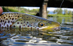 Releasing a brown trout on Depuys Spring Creek