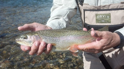 Rainbow Trout on a private spring creek