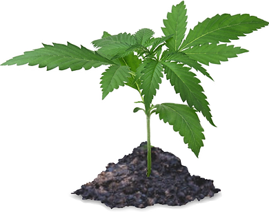 HEMP SPROUT.png