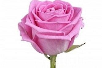 Розы Аква 50 см (Р)
