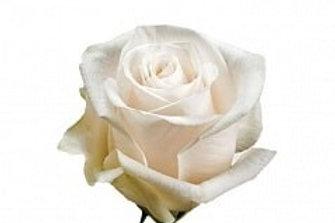 Розы Вендела  (Эквадор)