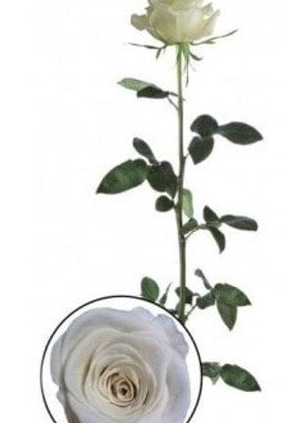 Роза стабилизированная белого цвета, высота 60 см