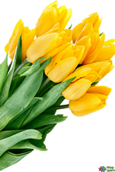 Тюльпаны ЖЕЛТЫЕ (Голландия)
