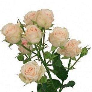 Розы куст Яна  (Р)