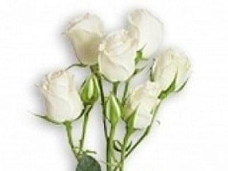 Розы Вивиан РС  куст.