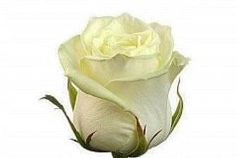 Розы Вайт Наоми  (Р)