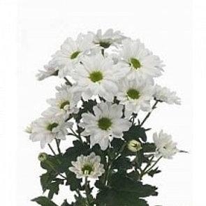 Хризантема куст Реган Вайт (Голландия)