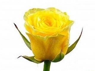 Розы Илиос РС