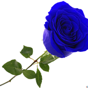 Розы Блю Пантед  (Голландия)