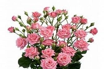 Розы куст Сильвана ( Голландия )