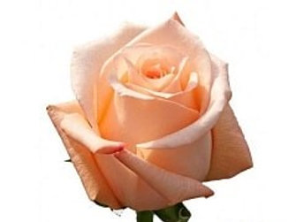 Розы Энгажемент (Эквадор)