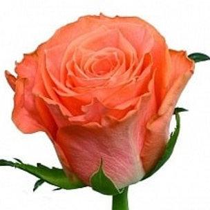 Розы Амстердам (Эквадор)