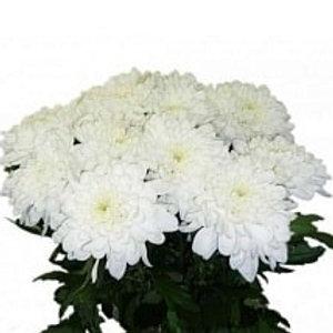 Хризантема куст Зембла БЕЛАЯ (Голландия)