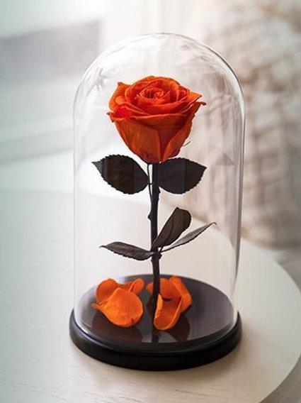 Роза коралловая, высота 27 см