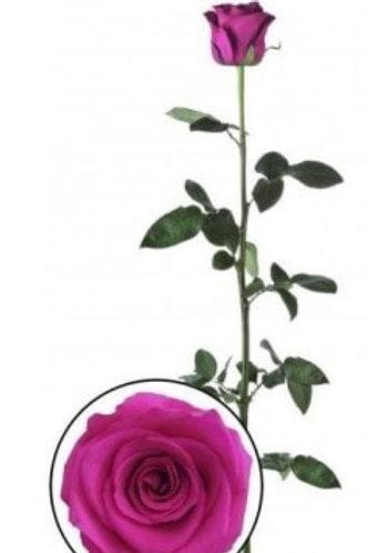 Роза стабилизированная насыщенно розового цвета, высота 60 см
