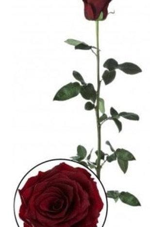 Роза стабилизированная красного цвета, высота 60 см