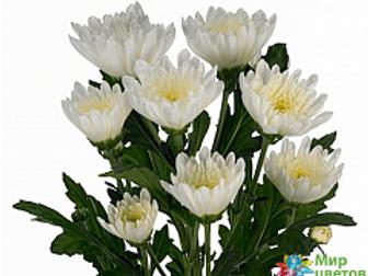 Хризантема куст Амира (Голландия)