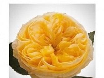 Розы Пионовидные Каталина  (Кения)