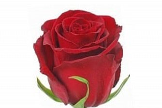 Розы Эксплорер  (Эквадор)