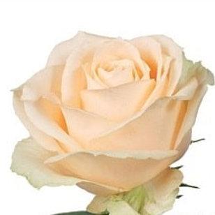 Розы Пич Аваланж  (Р)