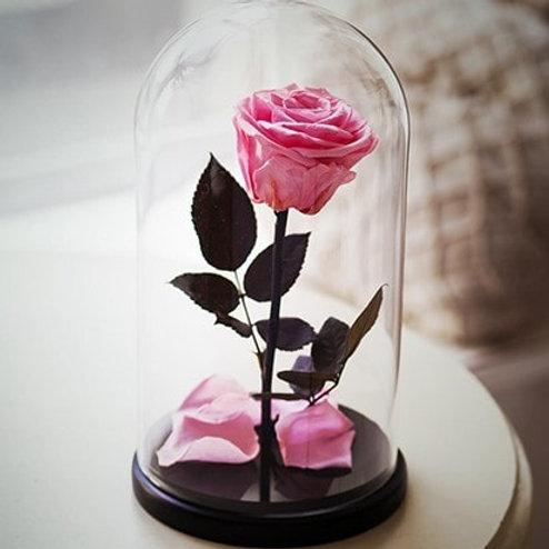 Роза нежно-розовая, высота 27 см