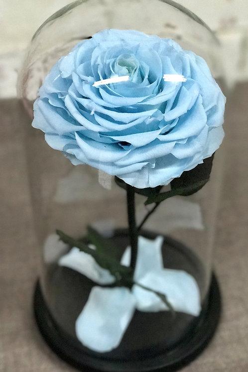 Роза Кинг голубая, высота 33 см