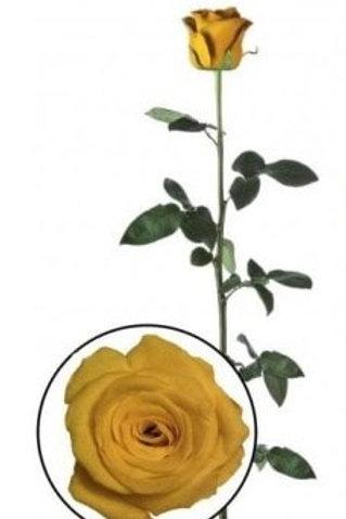 Роза стабилизированная желтого цвета, высота 60 см