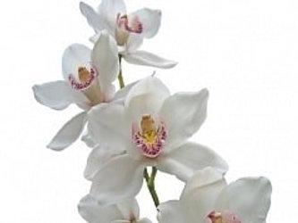 Цимбидиум (орхидея) белого цвета