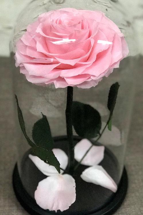 Роза Кинг нежно-розовая, высота 33 см