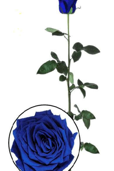 Роза стабилизированная синего цвета, высота 60 см