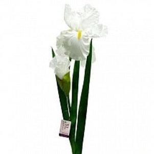 Ирис белый (White) (Голландия)