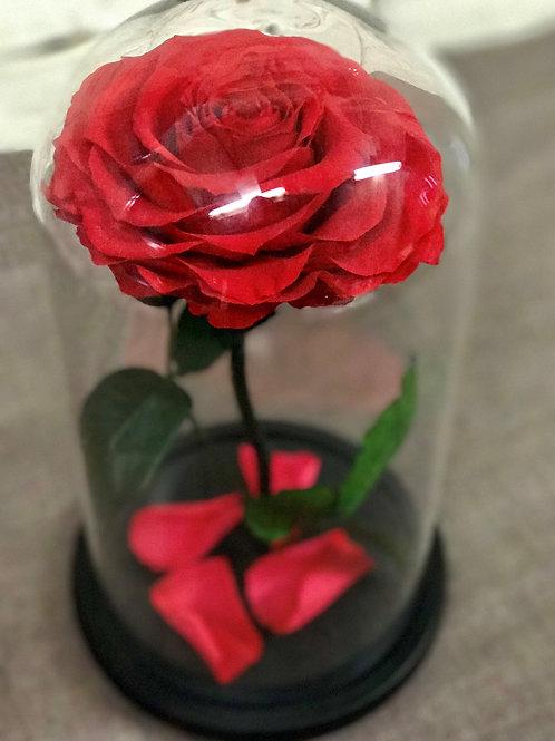Роза Кинг алая, высота 33 см