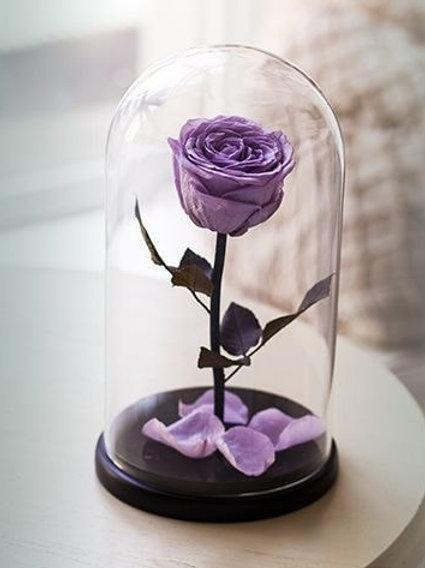 Роза сиреневая, высота 27 см