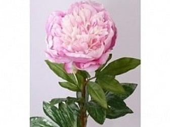 Пион розовый (Голландия)