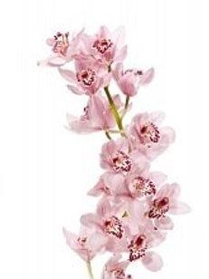 Цимбидиум (орхидея) розового цвета