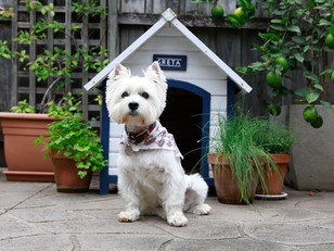 Corona Pup-date from your favourite Westie