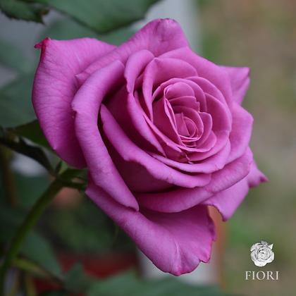 Ramo de rosas Sabiduría