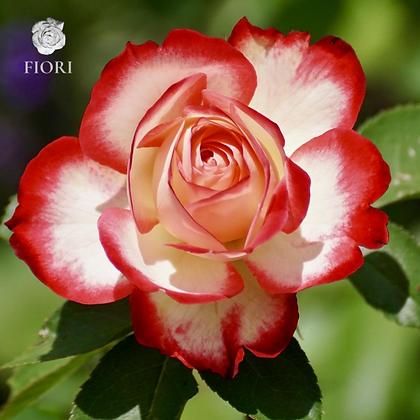 Ramo de rosas Entusiasmo