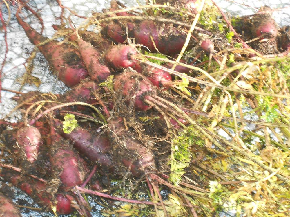 red carrots 2014.JPG